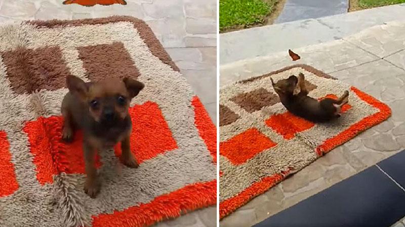 Cane che gioca con farfalla
