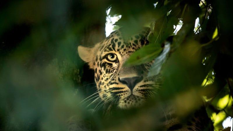 Leopardo nascosto