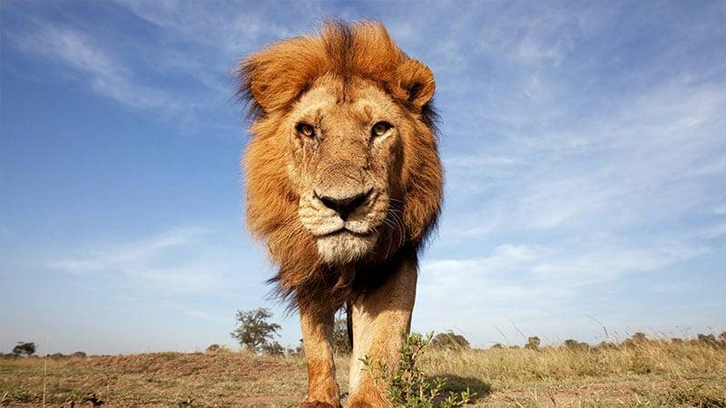 Foto di un leone
