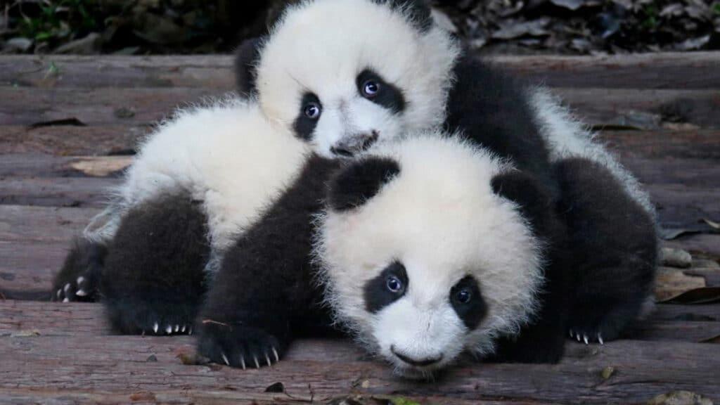 Panda Ueno